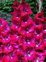 Гладиолус San Siro  крупноцветковый
