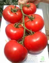 Голландские томаты