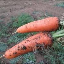 Семена моркови Абако F1 /Seminis, 1 млн. семян /1000000 сем - ранний гибрид, тип Шантане, фр. 1,4-1,6, фото 2