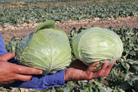Семена капусты Церокс F1 (Cerox F1). Упаковка 2 500 семян. Производитель Bejo Zaden