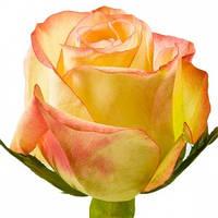 Роза Малу