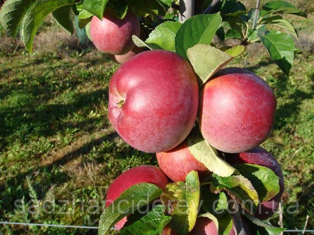 Саджанці яблунь Клоуз