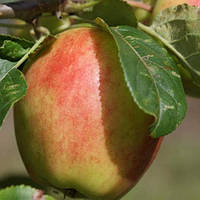 Саджанці яблунь Санрайз