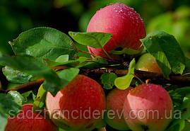 Саджанці яблунь Теремок