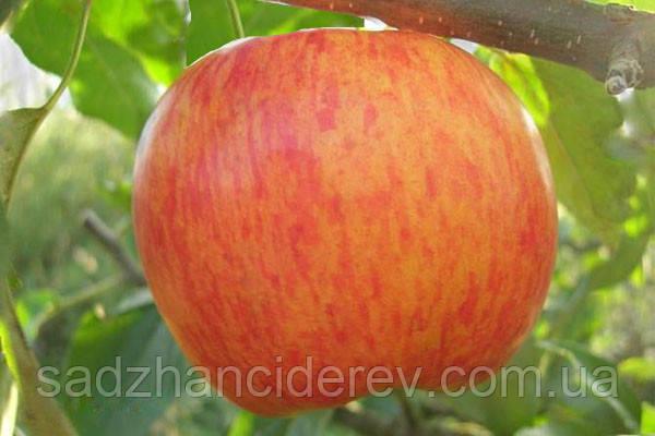 Саджанці яблунь Целесте