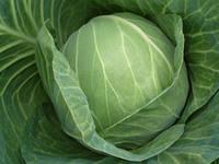Семена капусты Кэбтон F1 (Cabton F1). Упаковка 2 500 семян. Производитель Bejo Zaden