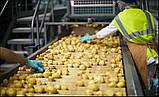 Линия стерилизации картофеля и упаковке в вакуум 2000 кг/ч, фото 5