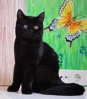 Шотландский прямоухий котенок в черной шубке