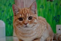 Рыжий шотландский котенок из питомника