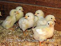 Бройлер РОСС 308 (cуточный цыпленок, подросший цыпленок)