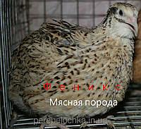 Инкубационное яйцо перепела породы золотистый Феникс