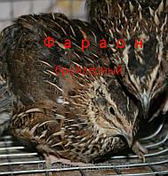 Инкубационные яйца перепелов Фараон