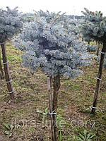 Ель Глаука Глобоза на штамбе (Picea pungens Glauca Globosa ) Штамб. Ель декоративная, низкорослая. Саженцы.