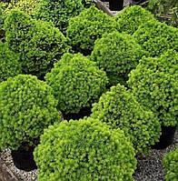 Ель канадская Альберта Глоб (Picea glauca Alberta Globe). Саженцы ели. Ель низкорослая, канадская.