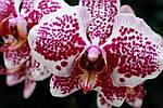 Почему у орхидеи опадают цветы и бутоны?