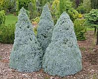 Ель канадская Сандерс Блю (Picea glauca Sanders Blue). Саженцы ели. Ель низкорослая, канадская, голубая.