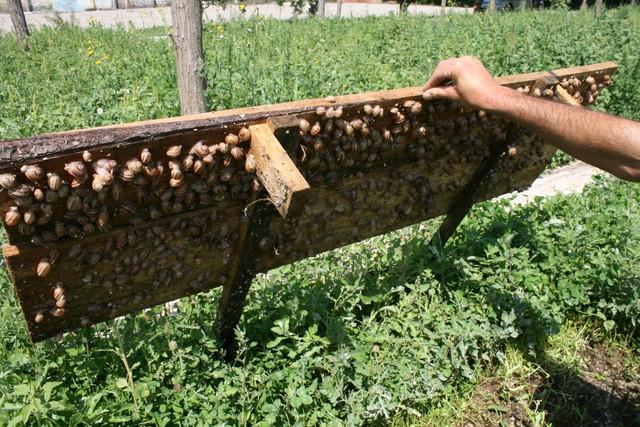Выращивание улиток - хороший источник заработка, который практикуется в Украине