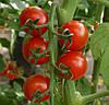 САКУРА F1 - насіння томату, Enza Zaden 250 насінин