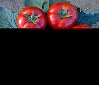 ЛОДЖЕЙН F1 - семена томата, Enza Zaden 500 семян