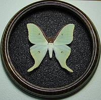 Сувенир - Бабочка в рамке Actias gnoma m. Оригинальный и неповторимый подарок!