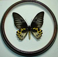 Сувенир - Бабочка в рамке Troides hypolitus hyppolitus f. Оригинальный и неповторимый подарок!
