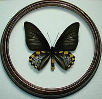 Сувенир - Бабочка в рамке Troides hypolitus hyppolitus m. Оригинальный и неповторимый подарок!