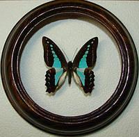 Сувенир - Бабочка в рамке Graphium sarpedon. Оригинальный и неповторимый подарок!