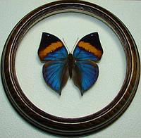Сувенир - Бабочка в рамке Kallimma paralecta. Оригинальный и неповторимый подарок!