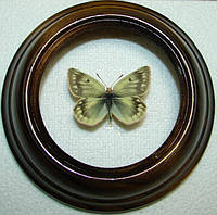 Сувенир - Бабочка в рамке Colias cocandica. Оригинальный и неповторимый подарок!