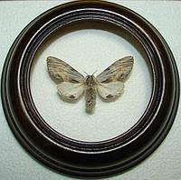 Сувенир - Бабочка в рамке Harpyia milhauseri. Оригинальный и неповторимый подарок!
