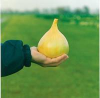 Семена лука Эксибишен (Exhibiion). Упаковка 10 000 семян. Производитель Bejo Zaden
