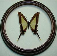 Сувенир - Бабочка в рамке Eurytides leucaspis. Оригинальный и неповторимый подарок!