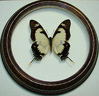 Сувенир - Бабочка в рамке Eurytides dolicaon. Оригинальный и неповторимый подарок!