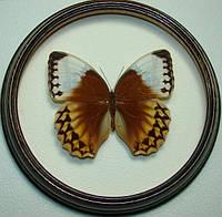 Сувенир - Бабочка в рамке Stichophthalma louisa mathilda. Оригинальный и неповторимый подарок!