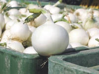 Семена лука Вайт Винг F1 (White Wing F1). Упаковка 250 000 семян. Производитель Bejo Zaden