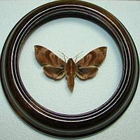 Сувенир - Бабочка в рамке Ampelophaga rubiginosa. Оригинальный и неповторимый подарок!