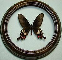 Сувенир - Бабочка в рамке Atrophaneura adamsoni. Оригинальный и неповторимый подарок!