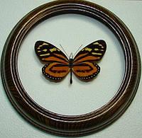 Сувенир - Бабочка в рамке Lycorea ceres. Оригинальный и неповторимый подарок!