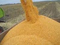 Куплю Пшеницу,кукурузу,зерноотходы