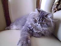 Котенок, котеночек ( котик) персидский Дориан