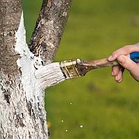 Побелка деревьев, фото 1