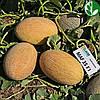 Семена дыни Мазин (МАФ 35 )  F1 1000 сем Clause