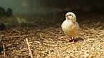 Энрофлоксацин, его применение для птицы.