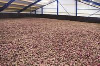 Семена лука Ред Булл F1 (Red Bull F1). Упаковка 250 000 семян. Производитель Bejo Zaden