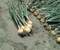 Семена лука Свифт (Swift). Упаковка 250 000 семян. Производитель Bejo Zaden