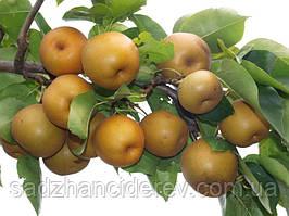 Саджанці груші Коко Суї