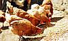 Профілактика мікотоксикозів у птахівництві