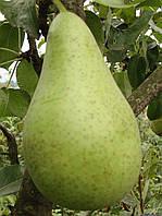 Саджанці груші Стрийська