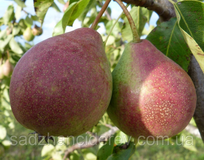 Саджанці груші Ізюминка Криму