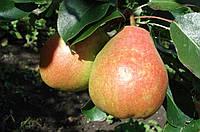 Саджанці груші Миколай Крюгер